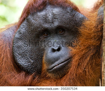 Portrait of a male orangutan. Close-up. Indonesia. The island of Kalimantan (Borneo). An excellent illustration.