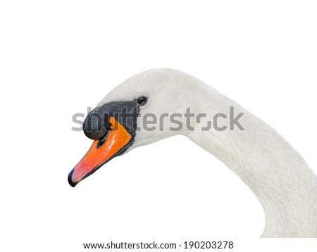Portrait of a male white swan - isolated  - stock photo