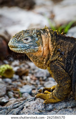 Portrait of a marine iguana in the Galpagos Islands, Ecuador - stock photo