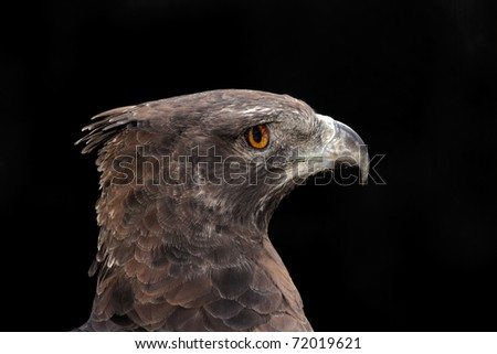 Portrait of a martial eagle (Polemaetus bellicosus), South Africa - stock photo