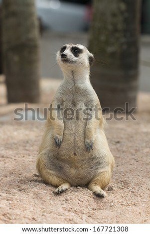 Portrait Of A Meerkat On sand, thailand