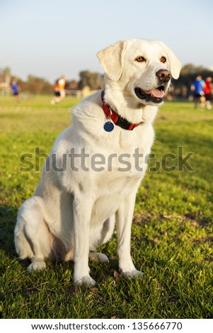 Portrait of a mixed Labrador dog, sitting on the grass at the park on a sunny day.