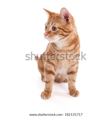 Portrait of a 5 month old domestic shorthair kitten with orange swirl pattern standing isolated on a white background