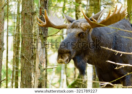 Portrait of a moose bull (Alces alces) in dense young spruce forest. Moose is very close and look at you from behind some branches.