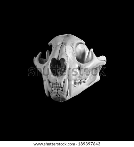 Portrait of a Mountain Lion Skull.