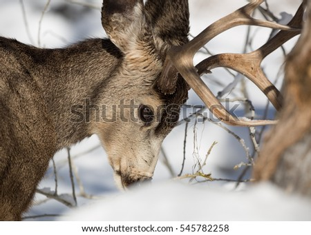 Portrait of a mule deer buck foraging for food in the snow