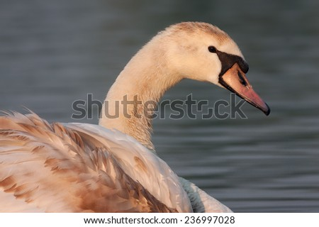 portrait of a mute swan - stock photo