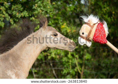 Portrait of a nice American Miniature Horse foal - stock photo