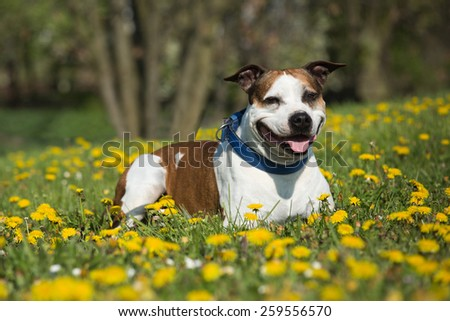 Portrait of a nice American Pit Bull Terrier - stock photo