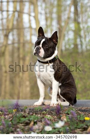 Portrait of a nice Boston Terrier - stock photo