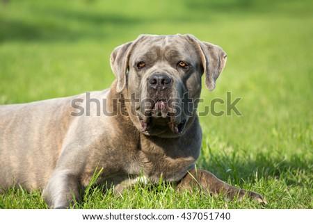 Portrait of a nice Cane Corso, italian mastiff dog - stock photo