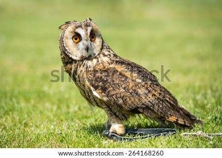 Portrait of a nice Eared owl (Asio otus) - stock photo