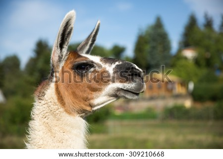 Portrait of a nice lama - stock photo