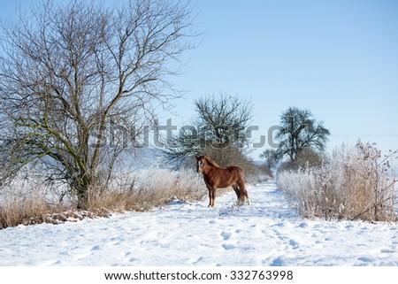 Portrait of a nice pony in winter landscape - stock photo