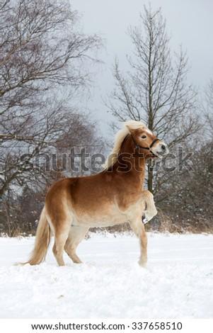 Portrait of a nice prancing Haflinger horse - stock photo