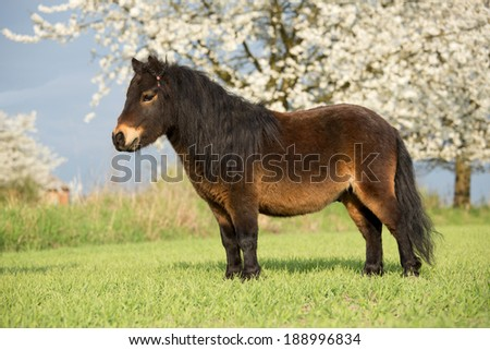 Portrait of a nice shetland pony - stock photo