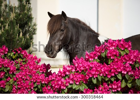 Portrait of a nice Shetland pony in rhododendron - stock photo