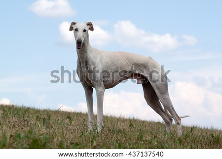 Portrait of a nice Spanish Galgo - stock photo