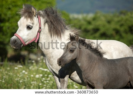 Portrait of a nice two American Miniature Horses, mare and foal - stock photo