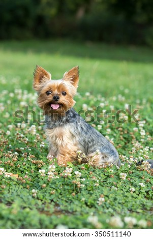 Portrait of a nice Yorkshire Terrier outdoors