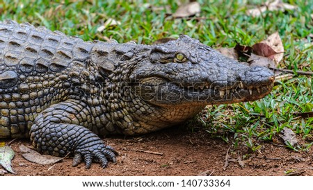 Portrait of a Nile crocodile (Crocodylus niloticus), an African crocodile and the second largest extant reptile in the world, after the saltwater crocodile.
