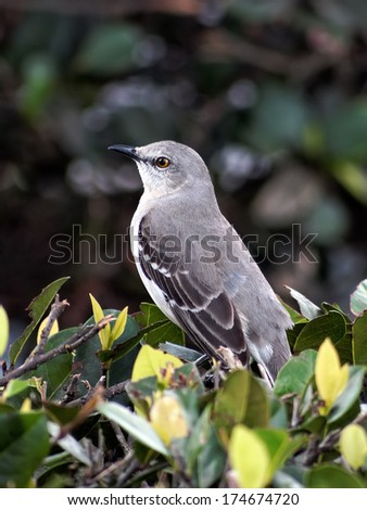 Portrait of a Northern mockingbird, perched on a bush - stock photo
