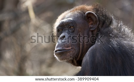 portrait of a old chimpanzee