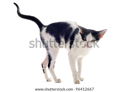 portrait of a oriental cat who marking his territory in front of white background - stock photo