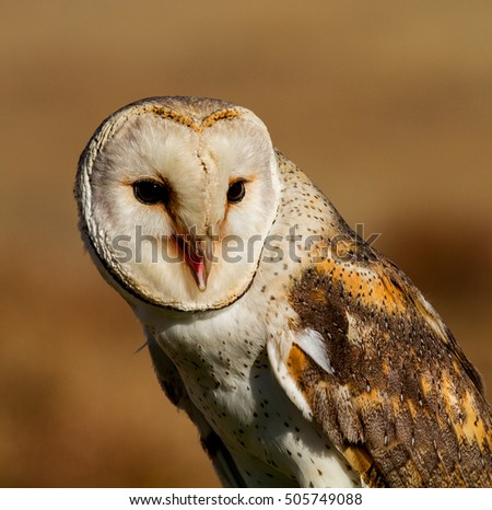 portrait of a owl