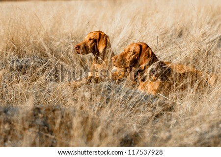 Portrait of a pair of Hungarian Vizsla dogs laying in long grass - stock photo