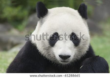 Portrait of a panda - stock photo