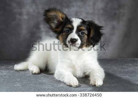 Portrait of a Papillon puppy on a gray background - stock photo