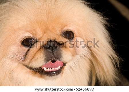 Portrait of a Pekingese dog breed.