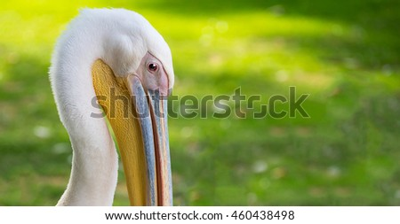 Portrait of a pelican. - stock photo
