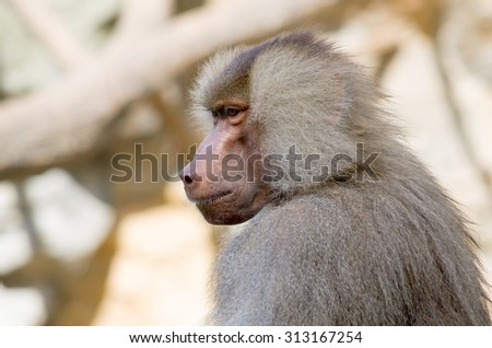 Portrait of a pensive hamadryas baboon (Papio hamadryas), sacred animal to the ancient Egyptians.