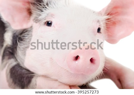 Portrait of a pig, closeup, looking at the camera, isolated on white background