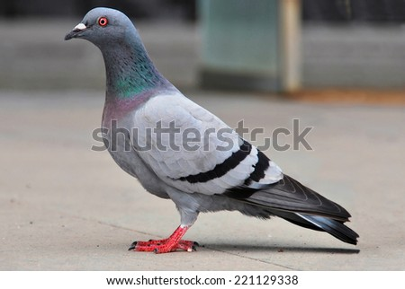 Portrait of a pigeon staying in the floor. Dove in an urban scene - stock photo