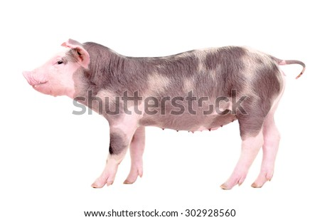 Portrait of a piglet in profile, standing in full length, isolated on white background - stock photo