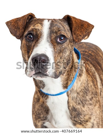 Portrait of a Pit Bull mixed breed dog with a brown brindle coat - stock photo