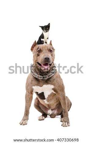 Portrait of a pit bull sitting with a kitten on the head, isolated on white background