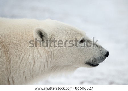 Portrait of a polar bear. Close up a portrait of a polar bear. - stock photo
