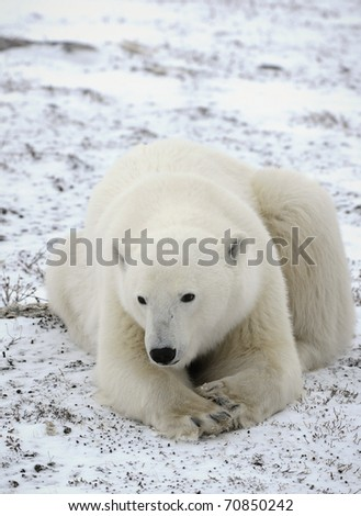 Portrait of a polar bear close up at a short distance. - stock photo