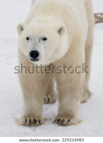 Portrait of a polar bear. Close-up. Canada. An excellent illustration.