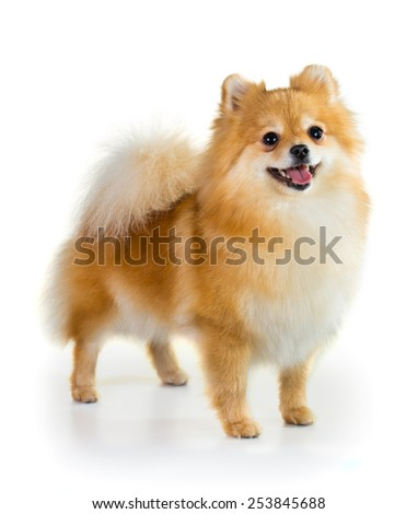 Portrait of a Pomeranian dog over white background - stock photo