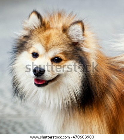 Portrait of a Pomeranian dog with funny smile.