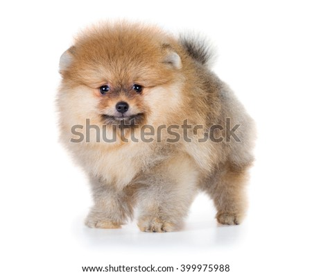 Portrait of a Pomeranian puppy age of 2 month isolated on white background - stock photo