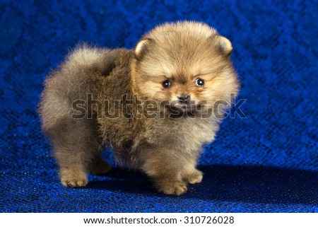 Portrait of a Pomeranian puppy age of 1,5 month over blue background - stock photo