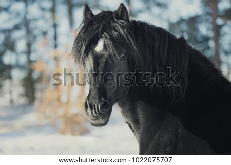 Portrait of a powerful black horse