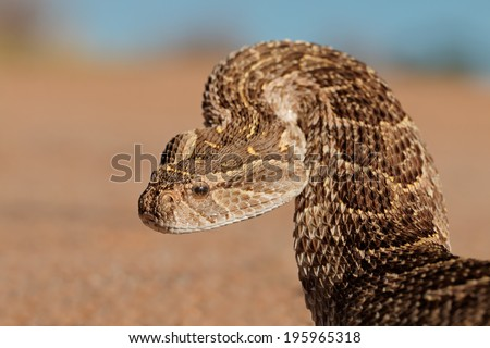 Portrait of a puff adder (Bitis arietans) in defensive position, southern Africa - stock photo