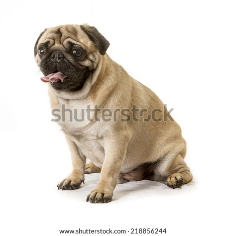 portrait of a pug dog in the studio - stock photo
